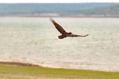 Turkey buzzard Royalty Free Stock Photo