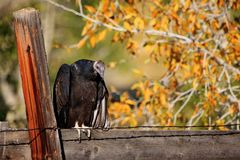 Turkey buzzard on fence Royalty Free Stock Photography