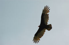 Turkey Buzzard in Flight. A Turkey Buzzard soars in a clear sky might just be an omen of death royalty free stock image