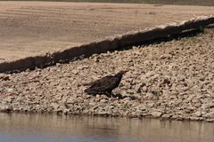 A turkey buzzard scavenging Royalty Free Stock Photography