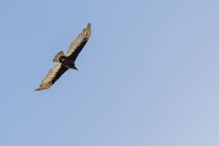 Turkey Buzzard / Vulture Bird flying in Blue Sky Stock Photography