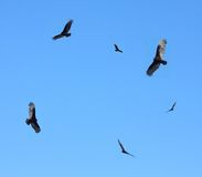 Turkey buzzards in flight Royalty Free Stock Images