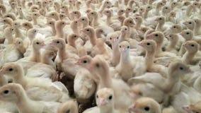 Turkey Chick Farm stock footage