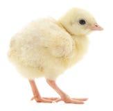 Turkey chick. On a white background stock photos