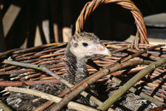 turkey chick in a wicker basket Stock Photography