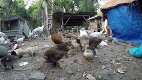 Turkey, chicken and ducks pecking leftover food. In a home backyard stock footage