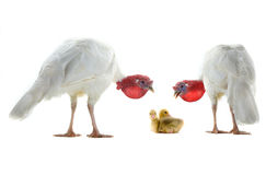 Turkey and chicken goose. Two turkey and chicken goose isolated on a white background royalty free stock images