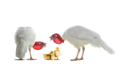 Turkey and chicken goose. Two turkey and chicken goose isolated on a white background royalty free stock photo