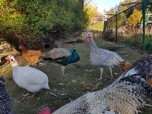 Turkey chicken peacock farm birds Stock Photos