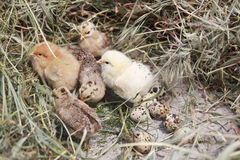 Turkey chicks. Little turkey chicks on the farm Royalty Free Stock Photography