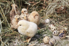 Turkey chicks Royalty Free Stock Image