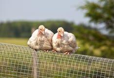 Turkey Chicks Stock Image