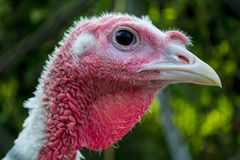 Turkey close-up head. Turkey poultry Royalty Free Stock Images