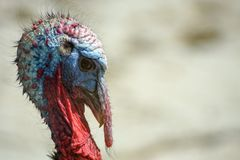 Turkey. Close up male tom turkey outside Royalty Free Stock Photography