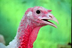 Turkey closeup in a farm Royalty Free Stock Photo