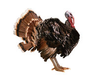 Turkey-cock Royalty Free Stock Images