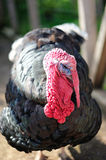 Turkey cock Royalty Free Stock Photo