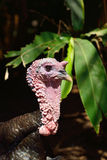 Turkey cock Royalty Free Stock Image