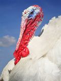 Turkey. Portrait stock image