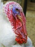 Turkey-cock. Smiles, Unusual bird amazing Royalty Free Stock Photo