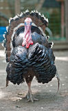 Turkey cock Royalty Free Stock Images
