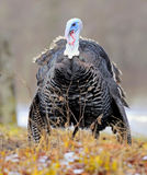 Turkey-cock Stock Photo