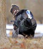 Turkey-cock Stock Photography