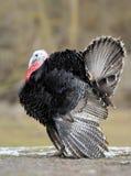 Turkey-cock Royalty Free Stock Photo