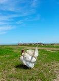 Turkey-cock bianco Fotografia Stock Libera da Diritti