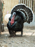 Turkey. In a Farm in Thailand royalty free stock photos