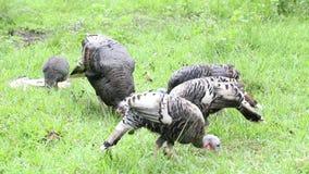 Turkey cock stock video footage