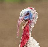 Turkey cock Stock Images