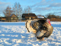 Turkey-cock at winter russian village Royalty Free Stock Photos