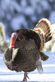 Turkey displaying during breeding season Royalty Free Stock Image