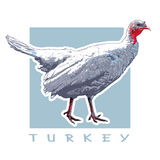 Turkey - Domestic Bird, Poultry. Vector Color Image. Graphic Illustration of the Poultry Stock Photo