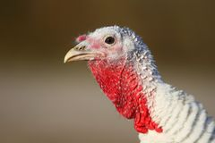 Turkey face. With dirty beak on blurred background Stock Photography