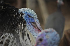 Turkey face Royalty Free Stock Photography