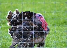Turkey face Stock Image