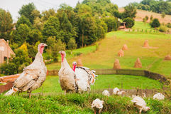 Turkey family on green grass;. Turkey family on the farm in the mountain area on green grass royalty free stock photo