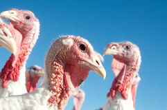 Turkey on a farm Stock Images