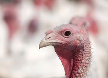 Turkey on a farm Stock Photo