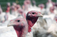 Turkey on a farm Royalty Free Stock Image