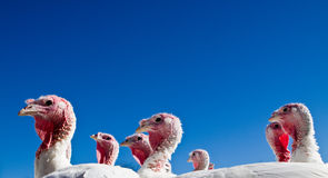 Turkey farm Royalty Free Stock Images