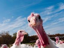 Turkey farm Royalty Free Stock Image