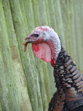 Turkey farm Stock Photography