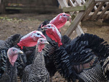 Turkey farm Stock Photo