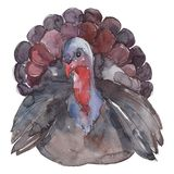 Turkey farm animal in a watercolor style isolated. Aquarelle wild animal for background.