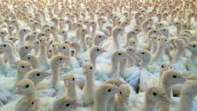 Turkey Farm Background. White Background of White Turkey Chicks stock video