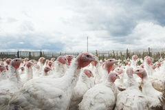 Turkey on a farm bird farm animal stock photo
