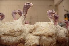 Turkey on a farm , breeding turkeys. Flock of Turkeys at the farm Stock Photos